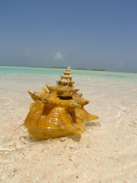 A beautiful conch we found while swimming
